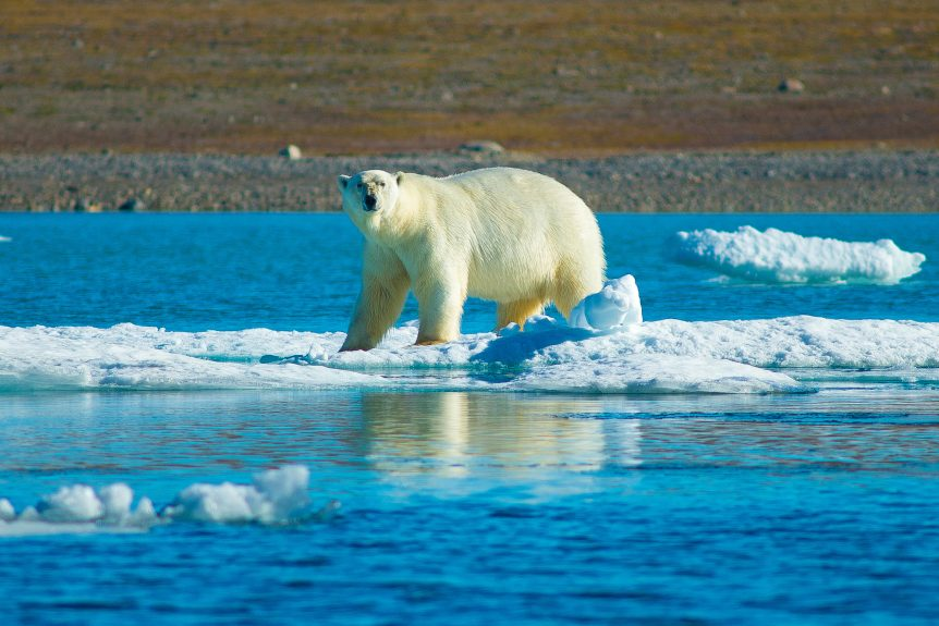 Polar bear standing on ice.